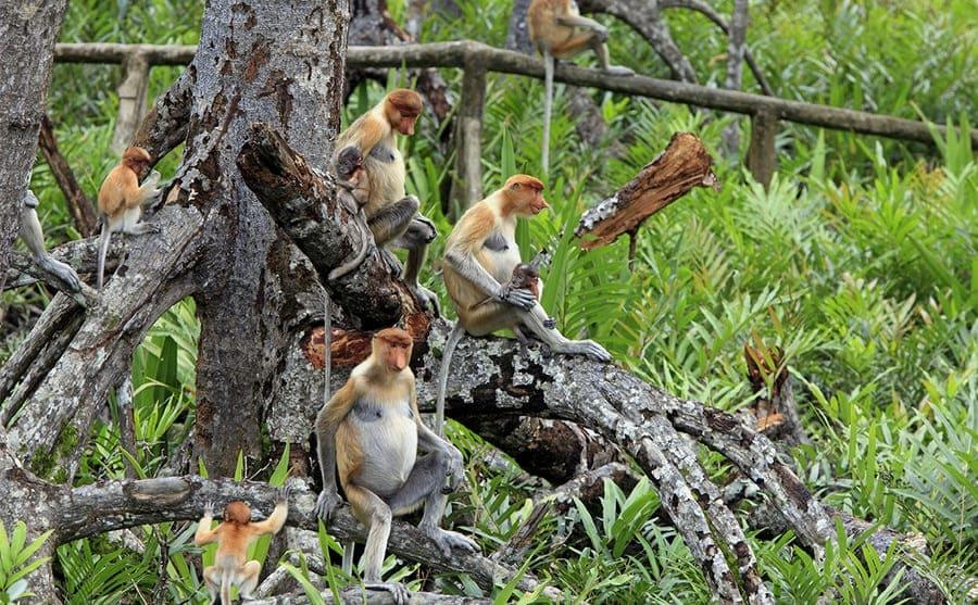 Proboscis monkeys hanging around the rainforest