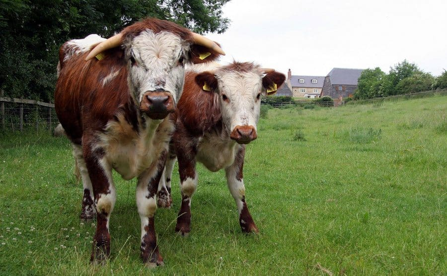 Two angry cows in a field