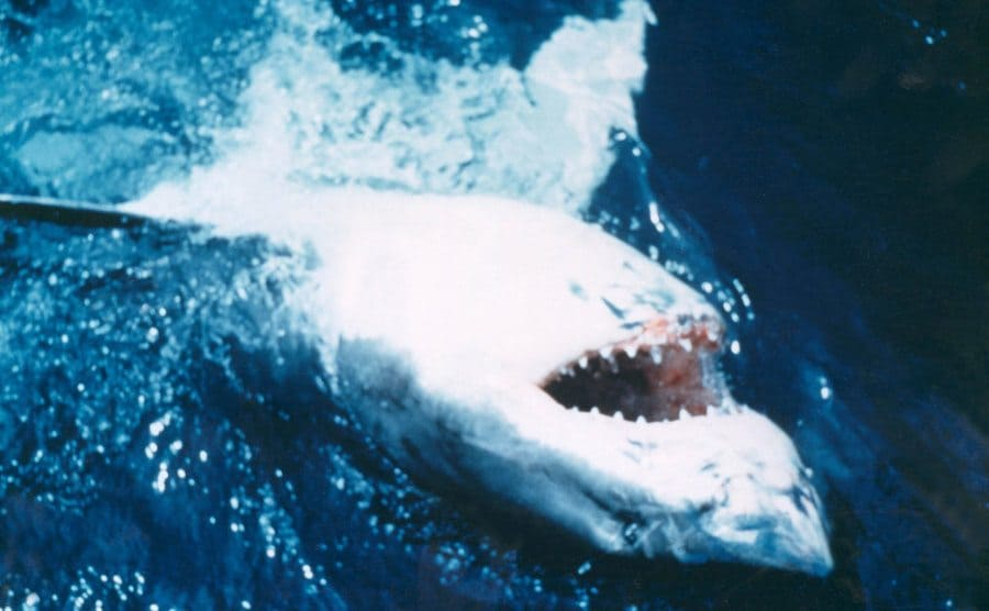 The shark upside down in the water with its mouth open in a scene from Jaws