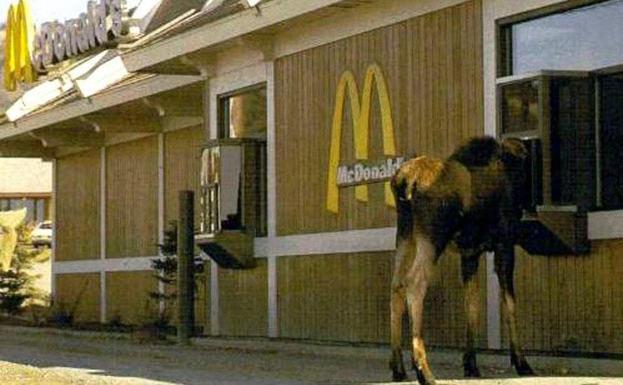 A full sized moose trying to make an order at the drive in window at McDonald's.