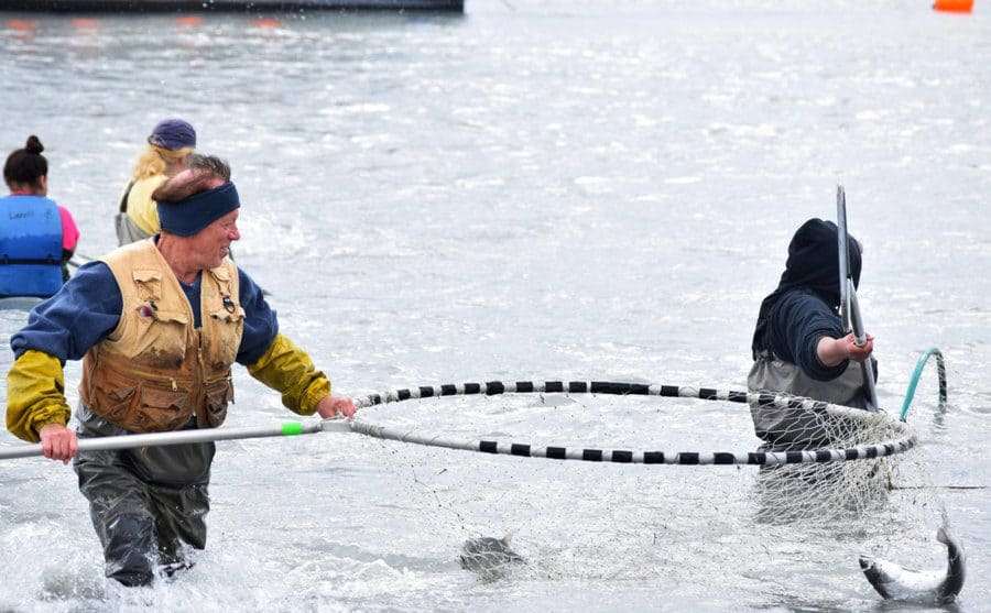 A women holding a very large dipnet while succsefully catching two salmons in the river