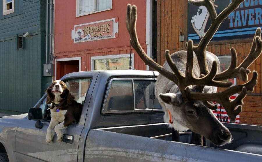 A raindeer and a dog sticking their heads out of a truck.