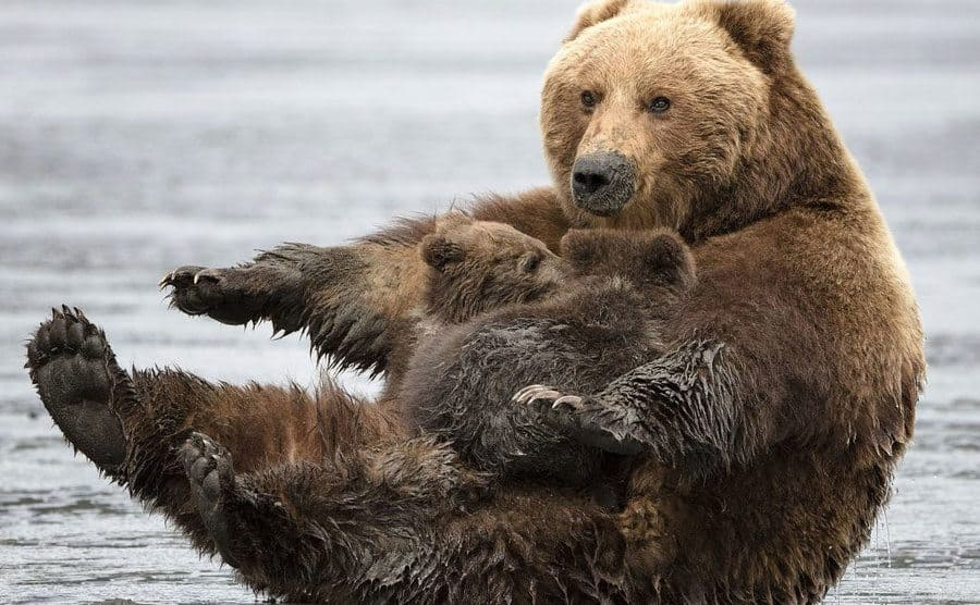 A momma brown bear streaching out on her back while trying to balance two cubs on her belly.