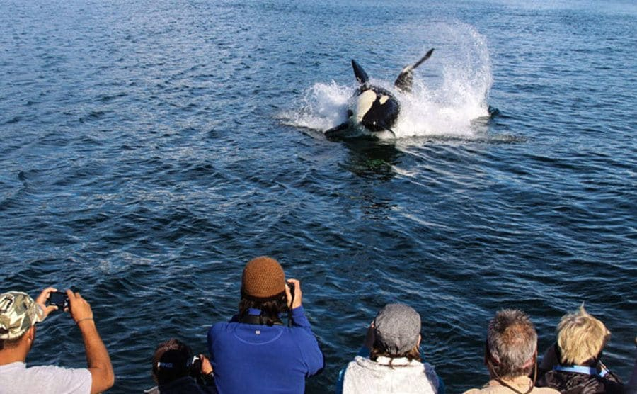 An orca coming above water infront of photographing tourists.