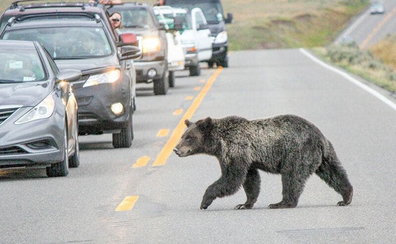A large black bear crossing the road and stopping traffic as car start to back up.