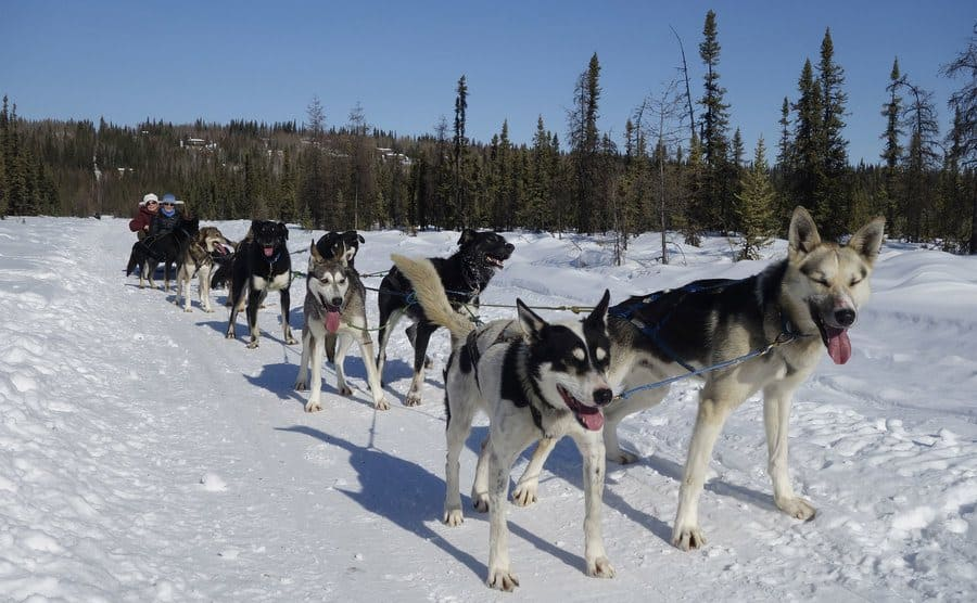 Sled dogs pulling a sled through the snow.