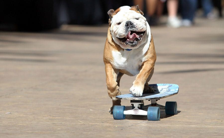 Tillman, the skateboarding dog, arrives at the third annual Stand Up for Skateparks benefit riding his skateboard.