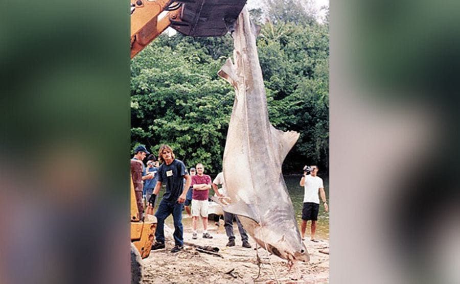 A 3-foot, 6-inch tiger shark, hanging in the air after some locals managed to catch him.