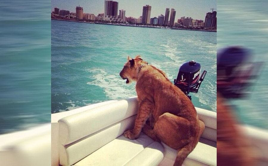 A tiger sitting in the back of a boat