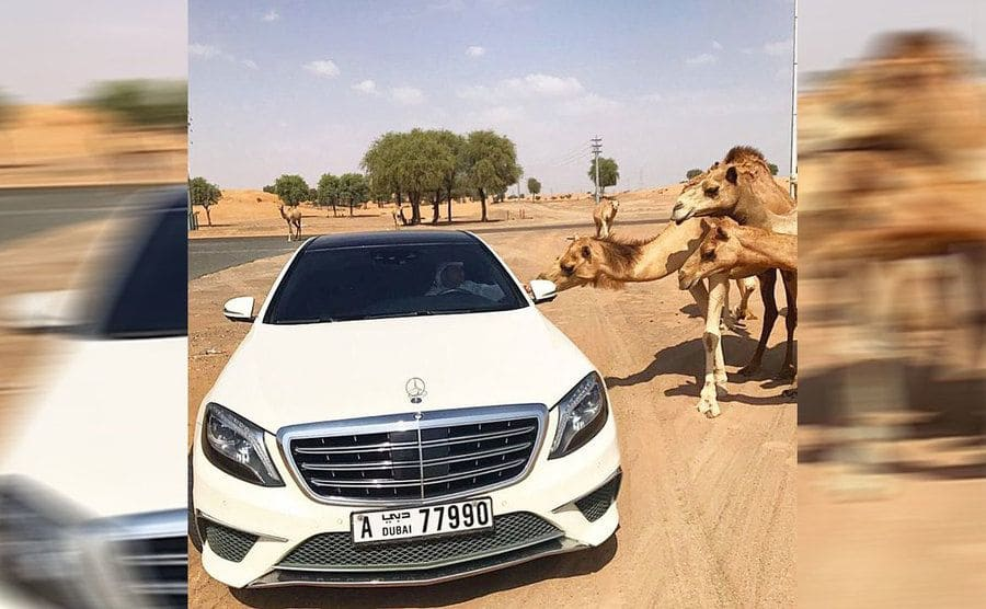 A man feeding the camel from the window of his nice Mercedes