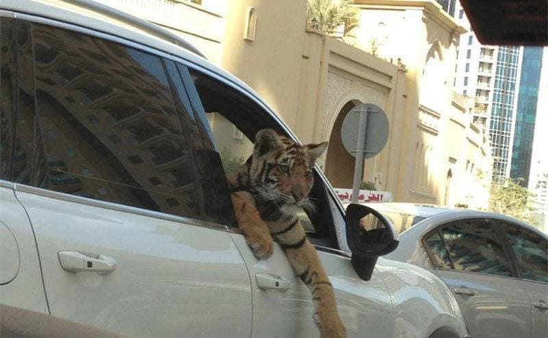 A tiger sticking its head and paws out of a passenger-side door