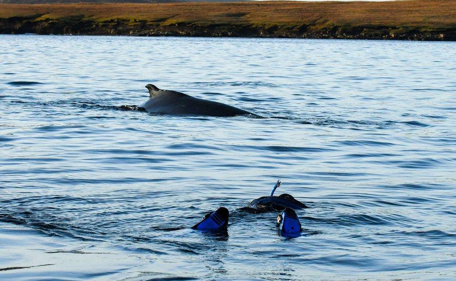 A Humpback Whale next to a scuba diver.