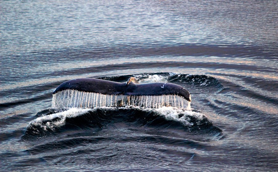 A view of a Humpback whale.