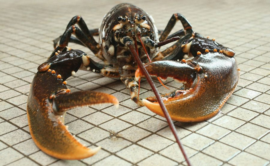 A picture of an adult lobster.