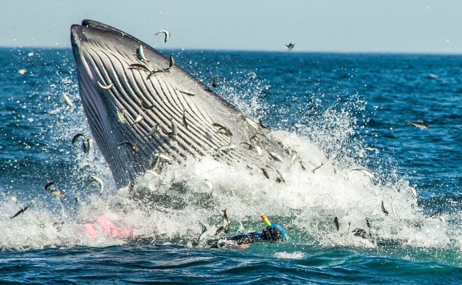 A whale scrambles for a ball of sardines.